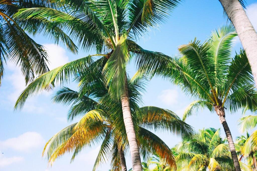 Palm trees - Mauritius
