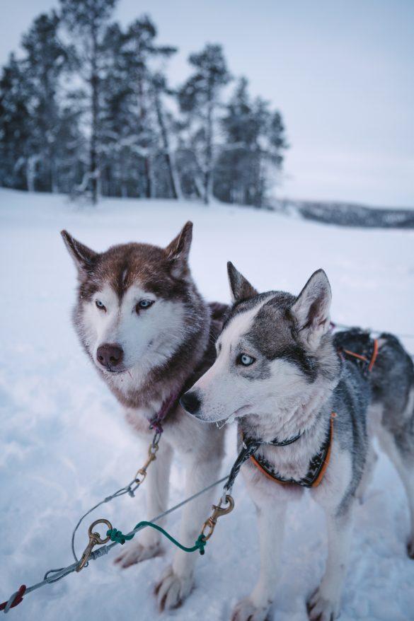 lapland dogs chiens traîneaux